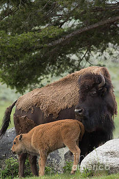 American Buffalo Mother and Calf by Natural Focal Point Photography
