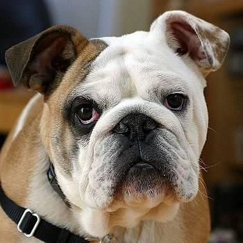Tracey Harrington-Simpson - American Bulldog