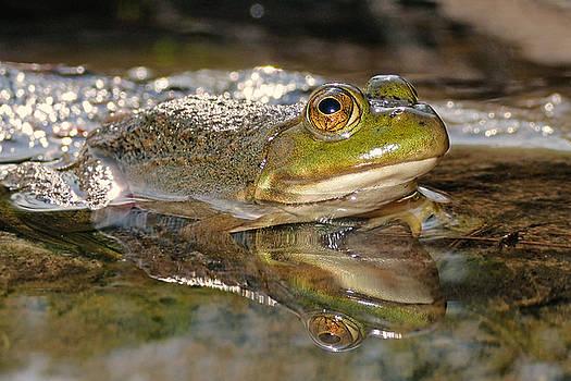 American bullfrog by Asbed Iskedjian