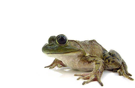 American Bullfrog by Marcus Jones