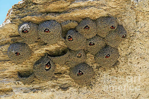 American cliff swallow Petrochelidon pyrrhonota by Louise Heusinkveld