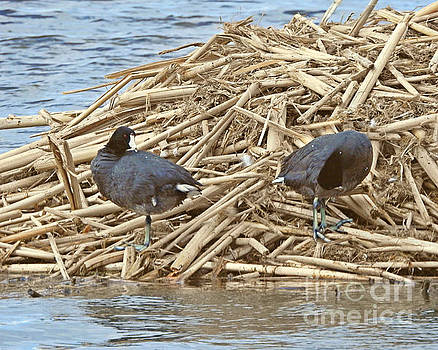 American Coot by Kathy M Krause