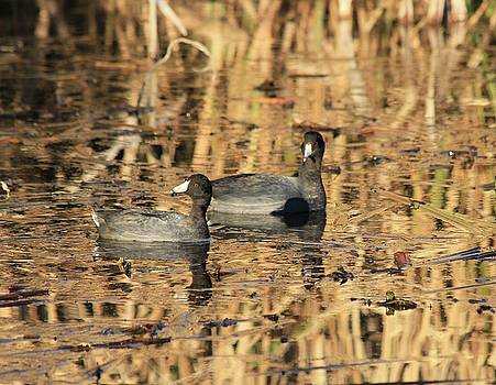 American Coots by Jerry Battle