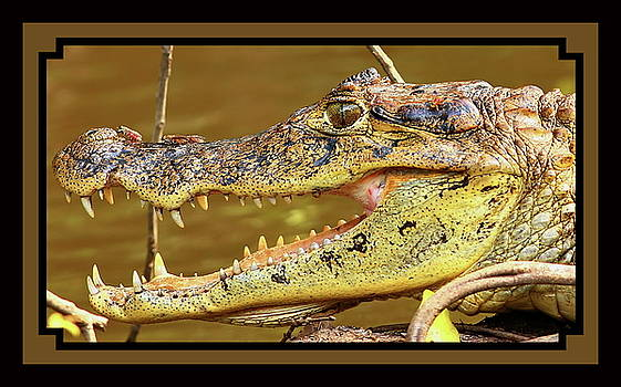 American croc by BYETPhotography