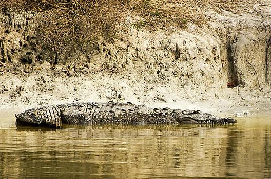 American Crocodile by Rich Leighton