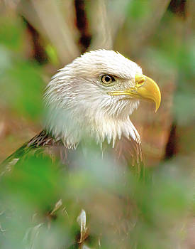 American Eagle by James Ekstrom