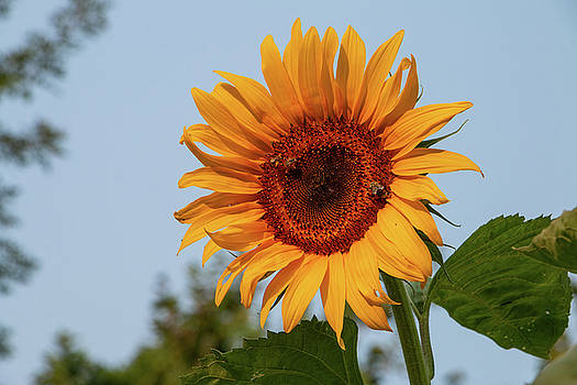 American Giant Sunflower in the Morning by Jeff Severson