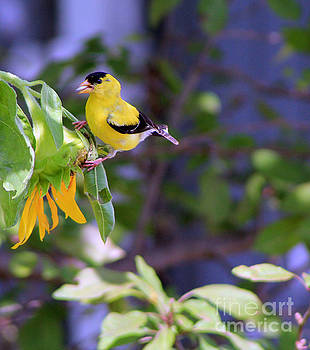 American Gold Finch Feeding by Dan De Ment