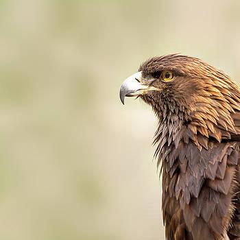 Susan Schmitz - American Golden Eagle