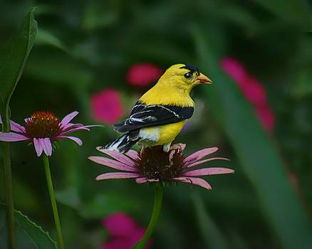 Nikolyn McDonald - American Goldfinch - 1