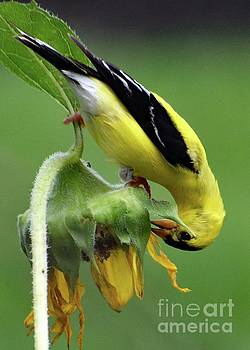 Cindy Treger - American Goldfinch And The Sunflower