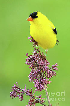 American Goldfinch Atop Purple Flowers by Max Allen