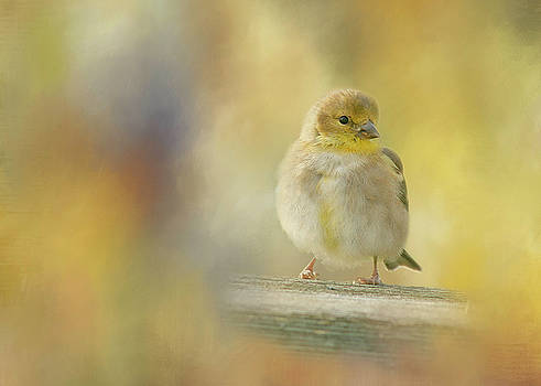 American Goldfinch by Cindi Ressler