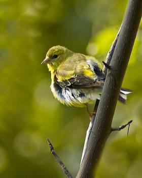 American Goldfinch by Cindy Adams