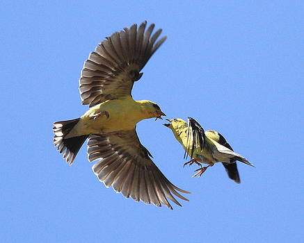 Wingsdomain Art and Photography - American Goldfinch Exchange