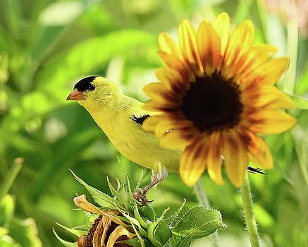American Goldfinch on Sunflower by William Jobes