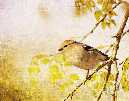 American Goldfinch by Pam  Holdsworth