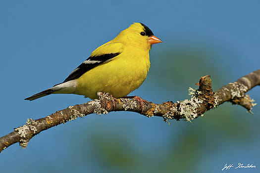 American Goldfinch Perched in a Tree by Jeff Goulden