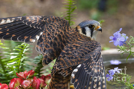 Jill Lang - American Kestrel at a Bird Bath