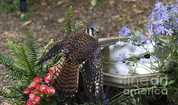 Jill Lang - American Kestrel at a Birdbath