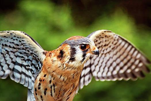 Peggy Collins - American Kestrel - Bird of Prey