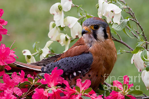 Jill Lang - American Kestrel in the Springtime