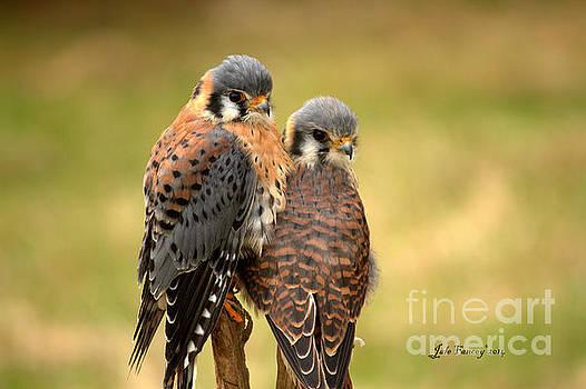 American Kestrel Siblings by Jale Fancey