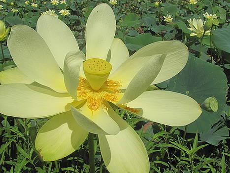 American Lotus by David Bader