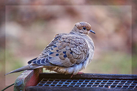 American Mourning Dove by Robert L Jackson
