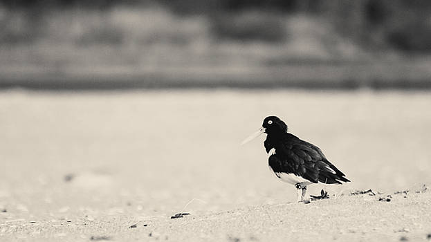 American Oystercatcher BW by Nathaniel Kidd