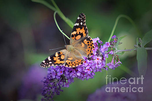 Painted Lady Butterfly 2017 by Karen Adams