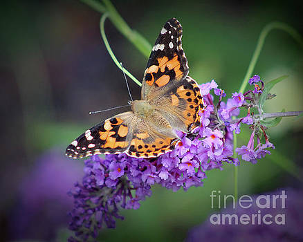 Painted Lady Butterfly 8x10 by Karen Adams