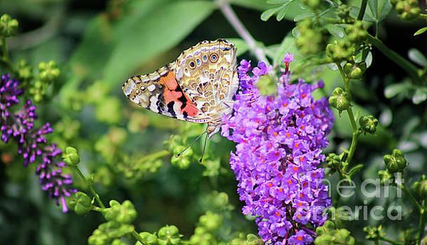 Painted Lady Butterfly in July by Karen Adams