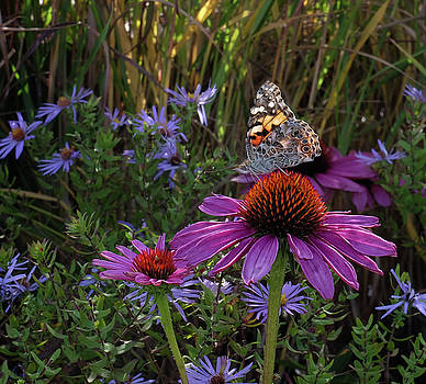 American Painted Lady on cone flower by Ronda Ryan