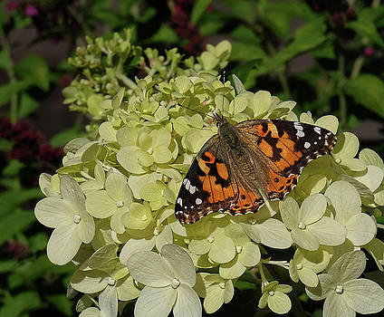 American Painted Lady on hydrangea by Ronda Ryan