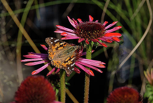 American Painted Lady on red flower by Ronda Ryan