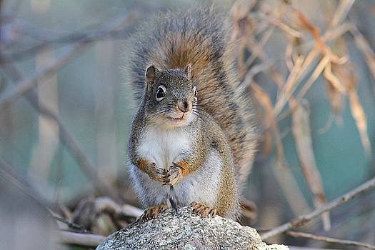 American Red Squirrel - autumn by Linda Crockett