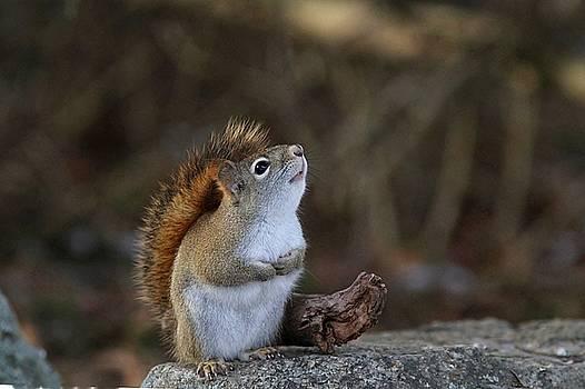American red squirrel - looking up by Linda Crockett