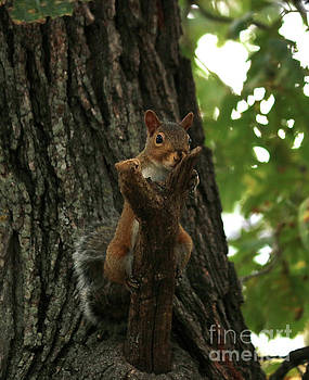American red squirrel by Lori Tordsen