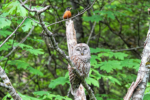 Peggy Collins - American Robin and Barred Owl