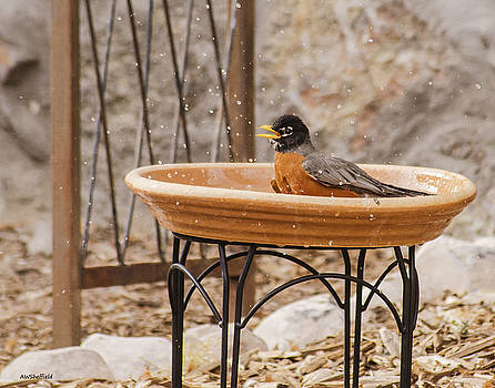 Allen Sheffield - American Robin Finishing His Bath