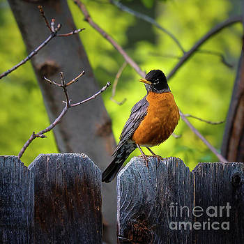 Jon Burch Photography - American Robin