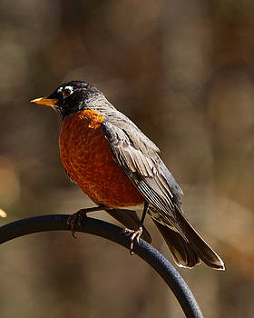 American Robin by Robert L Jackson