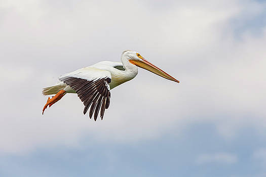 American White Pelican Cruising by James BO Insogna