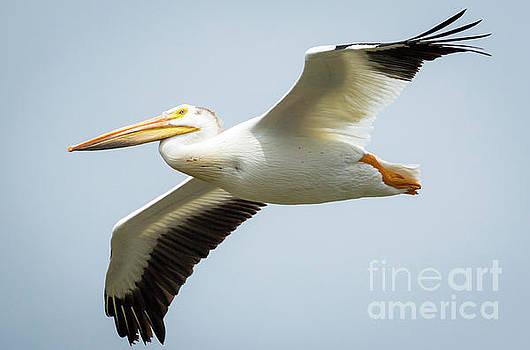 American White Pelican Flyby  by Ricky L Jones
