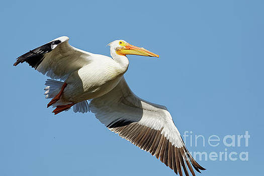American White Pelican in Flight by Natural Focal Point Photography