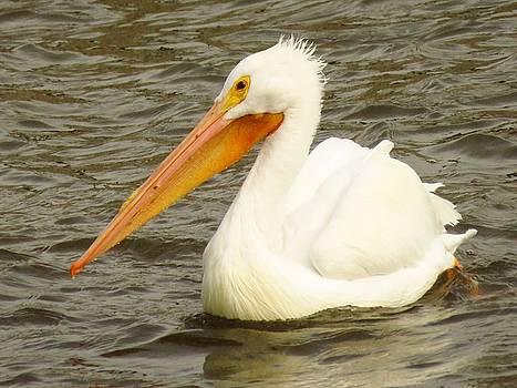 American White Pelican by Lori Frisch