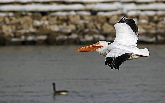 American White Pelican by Steve Yezek
