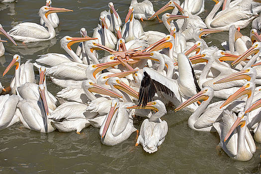 American White Pelicans by Eunice Gibb