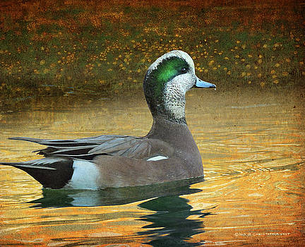 American Wigeon Pond Study by R christopher Vest